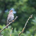 Song Thrush - Woods Mill (12)