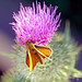 Thistle and a Moth
