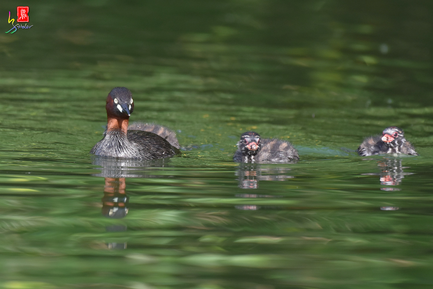 Little_Grebe_3984