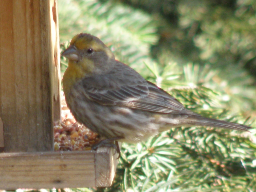 P6057184...House Finch ~ male [Yellow variant]