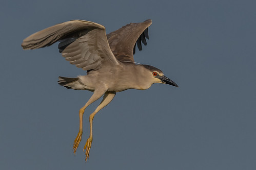 Black-Crowned Night Heron (Explored, Thank you #37)