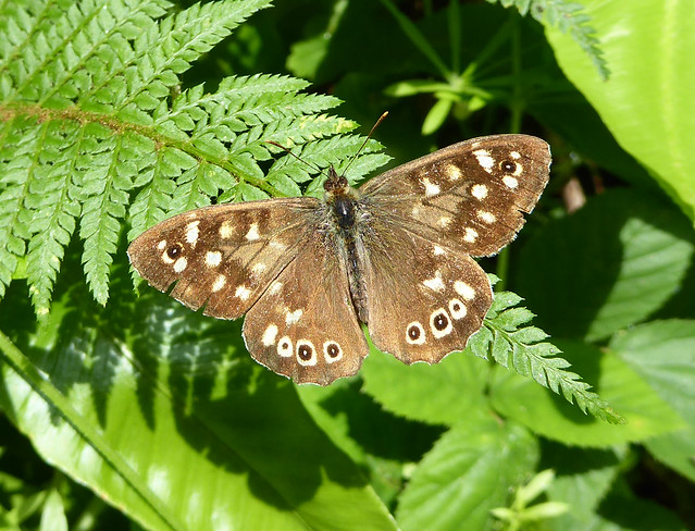Speckled Wood butterfly on Fishchowter's Lane