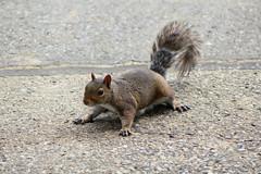 2018-07-15 (9) squirrel at Laurel Park - yp