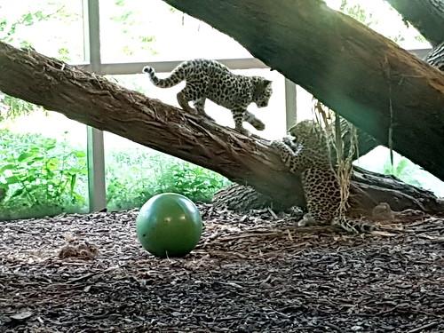 babyleoparden