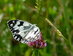 Marbled White (Melanargia galathea) male - Photo of Durcet