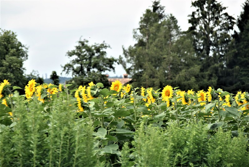 Sunflowers 29.06 (2)