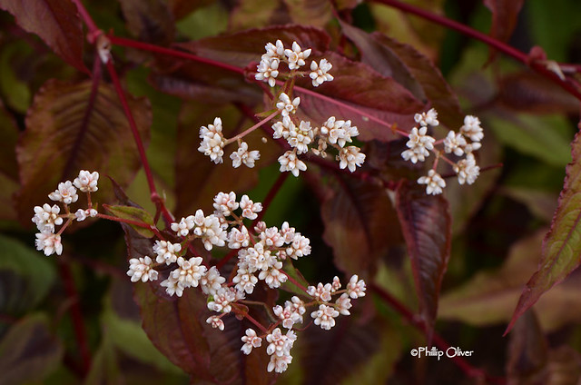 persicaria-red-dragon
