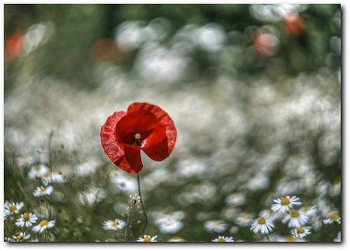 Poppy in chamomile bokeh
