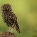 Little Owl on a post