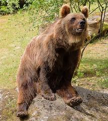 Braunbär Oga
