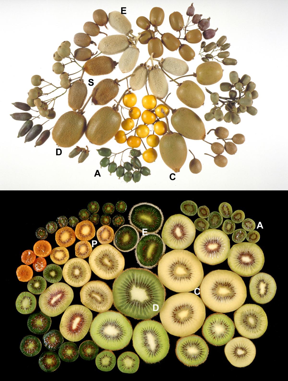 Kiwifruit by species A = A. arguta, C = A. chinensis, D = A. deliciosa, E = A. eriantha, I = A. indochinensis, P = A. polygama, S = A. setosa.