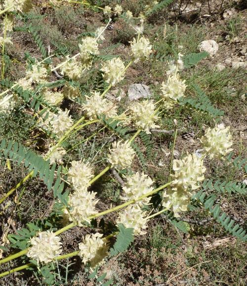 Astragalus alopecuroides 42766526224_204ed9ee70_o