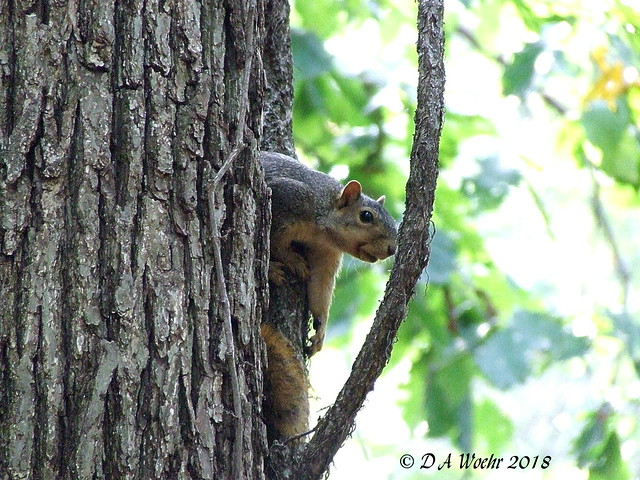 Fox Squirrel, Fujifilm FinePix S5200
