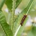 Knot Grass Moth Caterpillar...