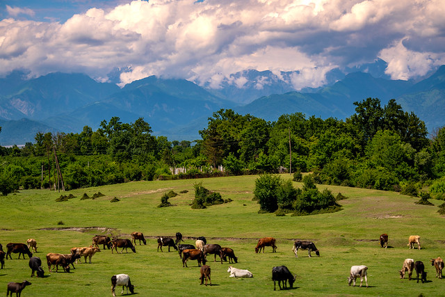 Cows grazing with the Caucasus in the background, Azerbaijan