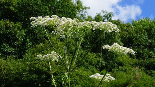Flowers on tall umbellifer