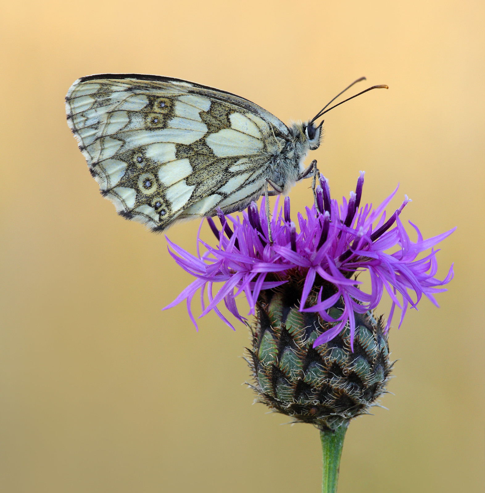 Marbled White on Greater Knapweed
