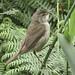 Reed Warbler-4