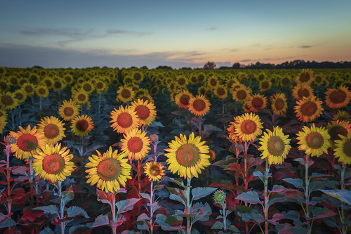http://www.notleyhawkins.com/, Notley Hawkins Photography, sunflowers, floral, flower, 2018, July, Summer, evening, dusk, sunset, Light Painting, sky, Boone County Missouri, BoCoMo, MU South Farm Research Center class=