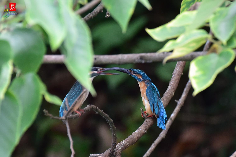 Common_Kingfisher_4128