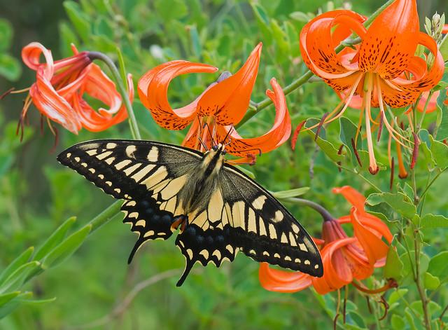 Swallowtail on wild tiger-lilies