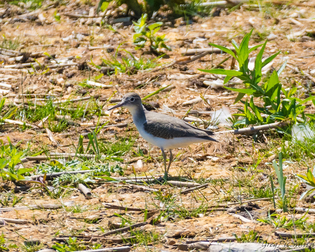 Solitary Sandpiper, Nayanquing Point SWA, Bay County