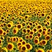 SUNFLOWERS / Girasoles- Tahivilla (Cádiz) Spain by Pixeltravel