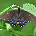 Eastern Tiger Swallowtail (female black morph) FOY 2018 by Nature by Travis Bonovsky