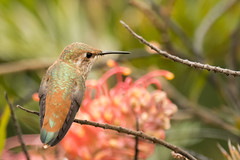 DSC_1443.jpg Allen's Hummingbird, UCSC Arboretum