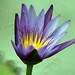 Lotus or Water Lily (Nymphaea Nouchali) - Kanchanaburi, Thailand 2018 by Dis da fi we