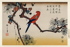 Ukiyo-e illustration, Macaw on Pine Branch by Utagawa Hiroshige, also known as Ando Hiroshige (1797-1858), a portrait of a vibrant macaw perched on a pine branch. Digitally enhanced from our own antique wood block print.