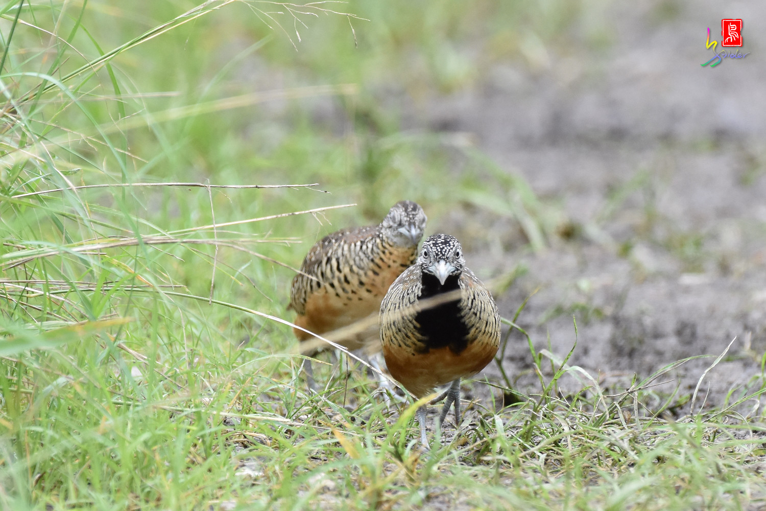 Barred_Buttonquail_5044