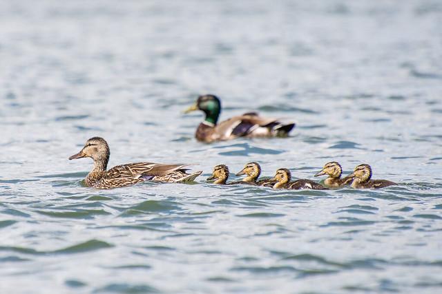 mallards and ducklings