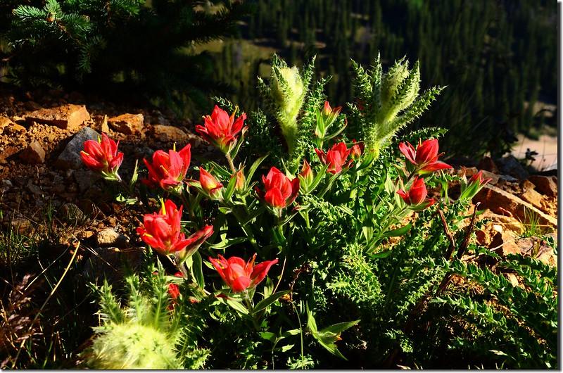 Painbrush flowers & Elk Thistle