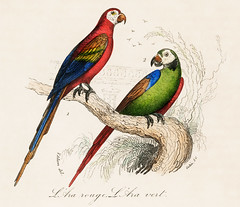 Scarlet and Green Macaw from Oeuvres complètes de Buffon (1860). Digitally enhanced from our own original plate.