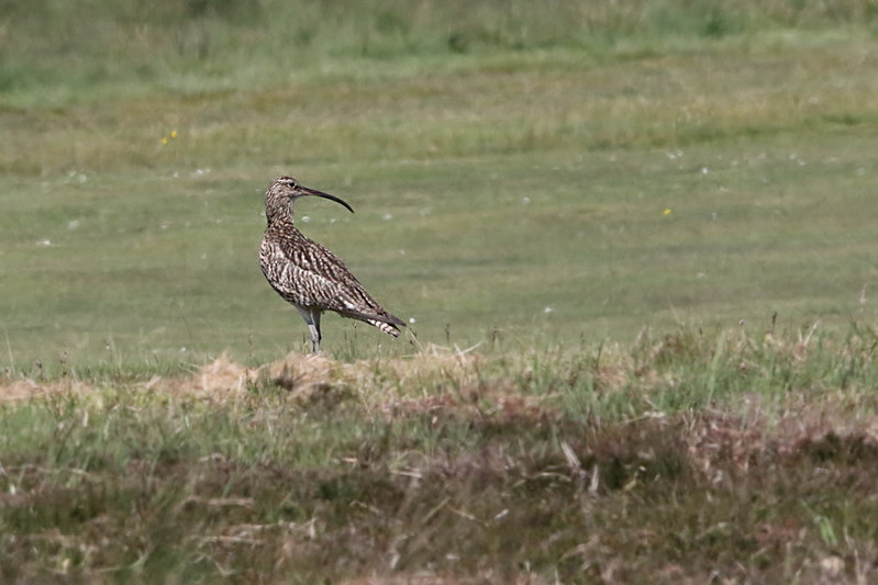 Curlew on the golf course