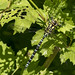 ♂ Southern Hawker