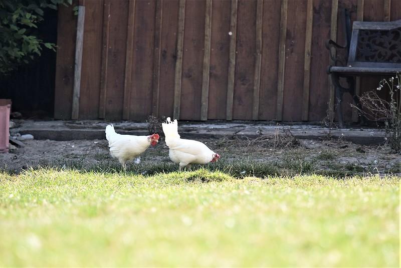 Chickens 27.06 (2)