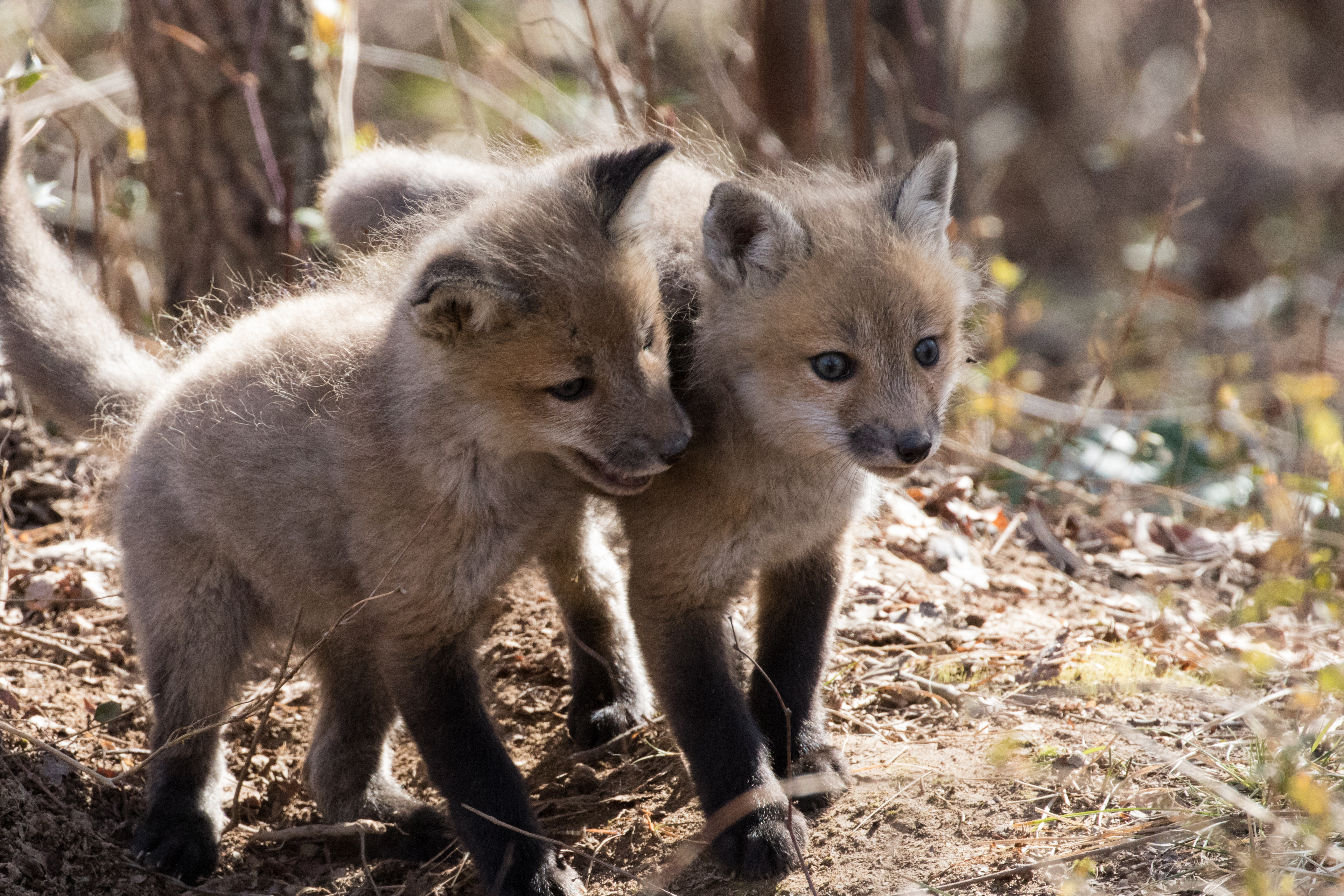 Juvenile red foxes are known as kits. These kits were spotted playing at a national wildlife refuge in Delaware. Photo taken on March 17, 2018.