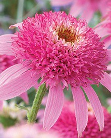 Pink Flowers : Pink Double Delight Coneflower