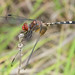 Red-headed Dragonfly
