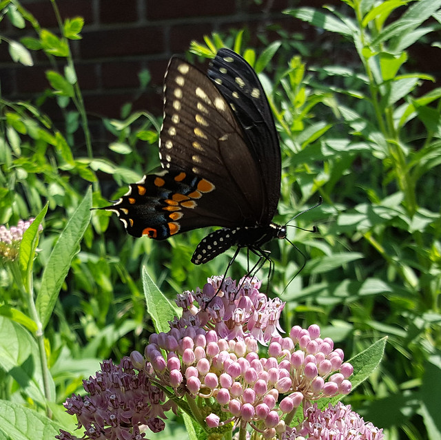 Papilio polyxenes, Eastern black swallowtail butterfly, on Asclepias incarnata, swamp/rose milkweed, in my front yard, July 2018
