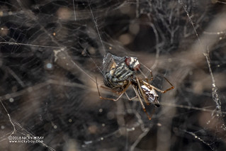 Comb-footed spider (cf. Meotipa sp.) - DSC_6637