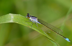 Blue-tailed Damselfly (Ischnura elegans) immature female