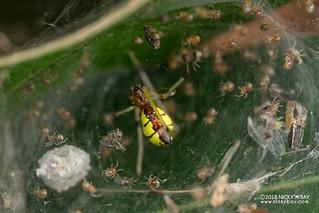 Comb-footed spider (Tidarren sp.) - DSC_2175