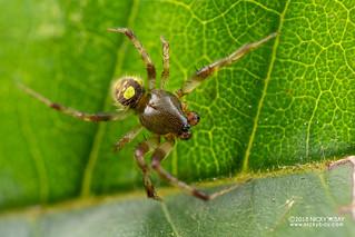 Orb weaver spider (Neoscona sp.) - DSC_2135