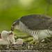20th June 2018 Female Sparrowhawk by Alan McFadyen
