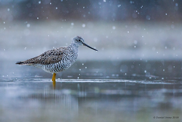 Greater Yellowlegs in the snow