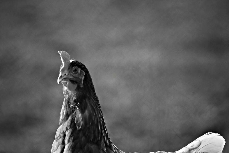 Chickens 08.05 (1)