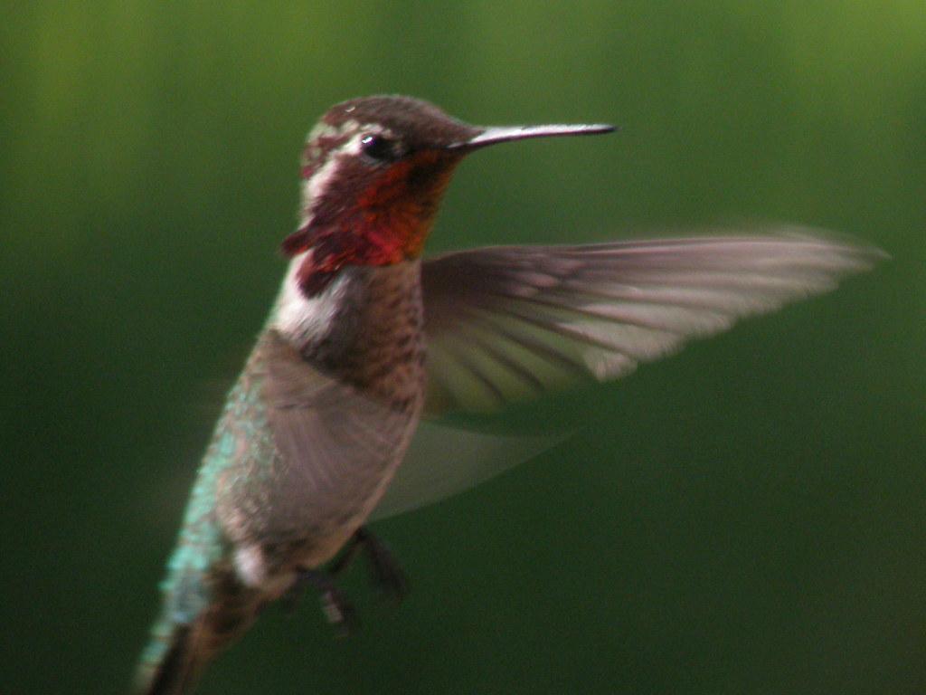 P5091731...anna's  hummingbird